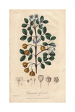 Roughbark Lignum-vitae, Guaiacum Officinale (endangered) Giclee Print by E. Weddell
