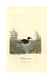 Horned Grebe, Podiceps Auritus Impression giclée par George Graves