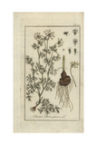 "Great Pignut, Bunium Bulbocastanum, From Pierre Bulliard's ""Flora Parisiensis,"" 1776, Paris Giclee Print by Johannes Zorn"