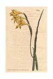 Yellow-flowered, Square-leaved Cornflag, Gladiolus Tristis Giclee Print by Sydenham Edwards