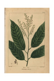 Sorrel Tree From Michaux's North American Sylva, 1857 Giclee Print by Pancrace Bessa