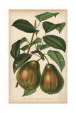 Pear Cultivar, Beurre D'Amarilis Panachee, Pyrus Communis Giclee Print by Walter Hood Fitch
