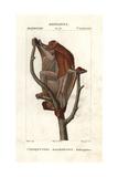 Sunda Flying Lemur, Galeopterus Variegatus Giclee Print by Jean Gabriel Pretre