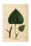 Canadian Poplar Tree From Michaux's North American Sylva, 1857 Giclee Print by Pancrace Bessa