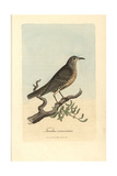 Misseltoe Thrush, Mistle Thrush, Turdus Viscivorus Giclee Print by George Graves