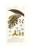 Date Palm, Fruit, Phoenix Dactylifera Giclee Print by Pierre J-F Turpin