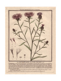 Brown Knapweed Or Brownray Knapweed, Centaurea Jacea Giclée-Druck von Pierre Bulliard