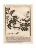Watercress, Sisymbrium Nasturtium-aquaticum Giclee Print by Pierre Bulliard