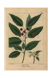 Red Cherry Tree From Michaux's North American Sylva, 1857 Giclee Print by Henri Joseph Redouté