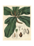 Broad Downy-leaved Terminalia Or Tropical Almond Tree Giclee Print by William Jackson Hooker