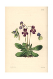 Orchis-like Butterwort, Pinguicula Orchidioides Giclee Print by Walter Hood Fitch