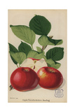 Apple Variety, Herefordshire Beefing, Malus Domestica Giclee Print by Walter Hood Fitch