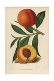 Peach Cultivar, Golden Frogmore, Prunus Persica Giclee Print by J.L. Macfarlane