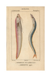Snake Blenny, Ophidion Barbatum, And Sandeel, Ammodytes Tobianus Giclee Print by Jean Gabriel Pretre