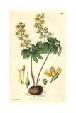 Altaic Leontice, Leontice Altaica Or Gymnospermium Altaicum Giclee Print by James McNab