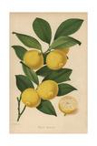 Bijou Lemon Cultivar, Citrus X Limon Giclee Print by Walter Hood Fitch