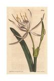 American Pancratium with White Fragrant Flowers, Pancratium Rotatum Giclee Print by Sydenham Edwards