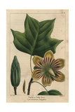 Poplar Or Tulip Tree From Michaux's North American Sylva, 1857 Impression giclée par Pancrace Bessa