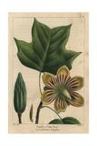 Poplar Or Tulip Tree From Michaux's North American Sylva, 1857 Giclée-Druck von Pancrace Bessa