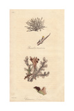 Roccella Tinctoria, And Iceland Moss, Cetraria Islandica Giclee Print by E. Weddell