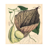 Gigantic-flowered Birthwort, Aristolochia Gigantea Giclee Print by Walter Hood Fitch