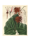 Fragrant Jonesia Or Ashoka Tree, Jonesia Asoca Giclee Print by William Jackson Hooker