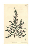 Fragrant Heath, Erica Fragrans Giclee Print by John Curtis