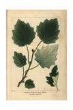 White Or Grey Poplar Tree From Michaux's North American Sylva, 1857 Giclee Print by Pancrace Bessa