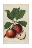 Apple Cultivar, Calville Rouge Praecox, Malus Domestica Giclee Print by Walter Hood Fitch