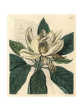 Thomson's New Swamp Magnolia, Magnolia Glauca Major Giclee Print by John Curtis