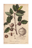 Gall Oak And Gall Wasp, Quercus Lusitanica Giclee Print by Miss. C.M. Curtis