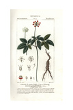 American Ginseng, Panax Quinquefolius Giclee Print by Pierre J-F Turpin
