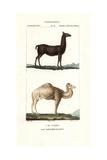 Llama, Lama Glama, And Dromedary Camel, Camelus Dromedarius Giclee Print by Jean Gabriel Pretre