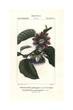 Giant Granadilla, Passiflora Quadrangularis Giclee Print by Pierre J-F Turpin