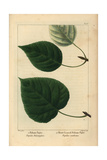 Balsam Poplar Tree From Michaux's North American Sylva, 1857 Giclee Print by Pancrace Bessa