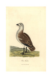Great Bustard, Otis Tarda Giclee Print by George Graves