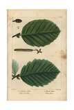 Common Alder Tree From Michaux's North American Sylva, 1857 Giclee Print by Henri Joseph Redouté