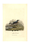 Northern Wheatear, Oenanthe Oenanthe Giclee Print by George Graves