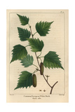 European White Birch Tree From Michaux's North American Sylva, 1857 Giclee Print by Pancrace Bessa