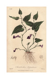 Virginia Snakeroot, Aristolochia Serpentaria Giclee Print by G. Reid