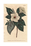 St. Helena Red-wood with White Flowers, Melhania Erythroxylon Giclee Print by Sydenham Edwards