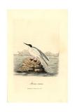 Roseate Tern, Sterna Dougallii Giclee Print by George Graves