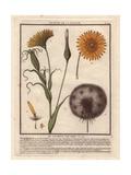 Meadow Salsify, Tragopogon Pratensis Giclee Print by Pierre Bulliard