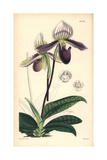 Bearded Ladies' Slipper Orchid, Cypripedium Barbatum Giclee Print by Walter Hood Fitch