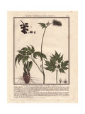 Baneberry Or Herb Christopher, Actaea Spicata Or Actaea Alba Giclee Print by Pierre Bulliard