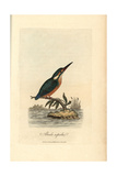 Common Kingfisher, Alcedo Ispida, Alcedo Atthis Reproduction procédé giclée par George Graves