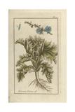 Endive, Cichorium Endivia Giclee Print by Johannes Zorn