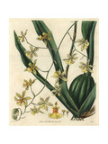 Tall-stemmed on cidium Orchid, on cidium Altissimum Giclee Print by William Jackson Hooker
