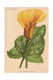 Yellow Canna Giclee Print