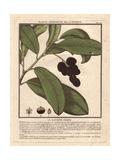 Cherry Laurel Tree, Prunus Lauro-cerasus Giclee Print by Pierre Bulliard